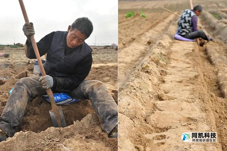 传统的山药一人一天才挖一分地